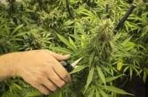 marijuana and alcohlism