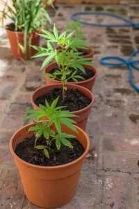 marijuana news